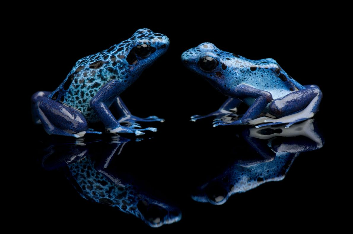 Blaue Baumsteiger, Dendrobates azureus