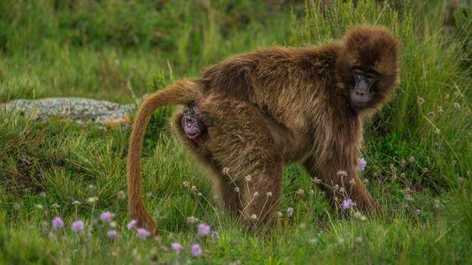 Intime Aufnahmen einer Affengeburt