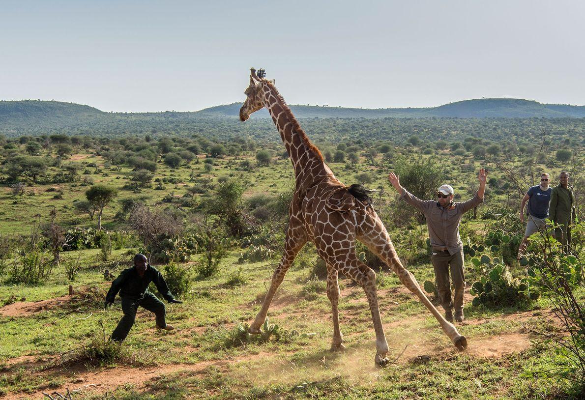 Giraffe im Loisaba Wildlife Conservancy