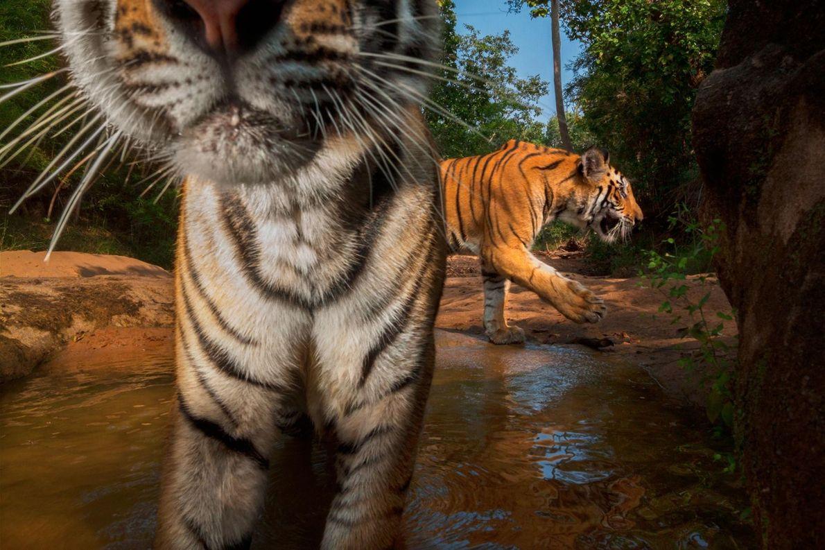 Junger Tiger entdeckt Kamera