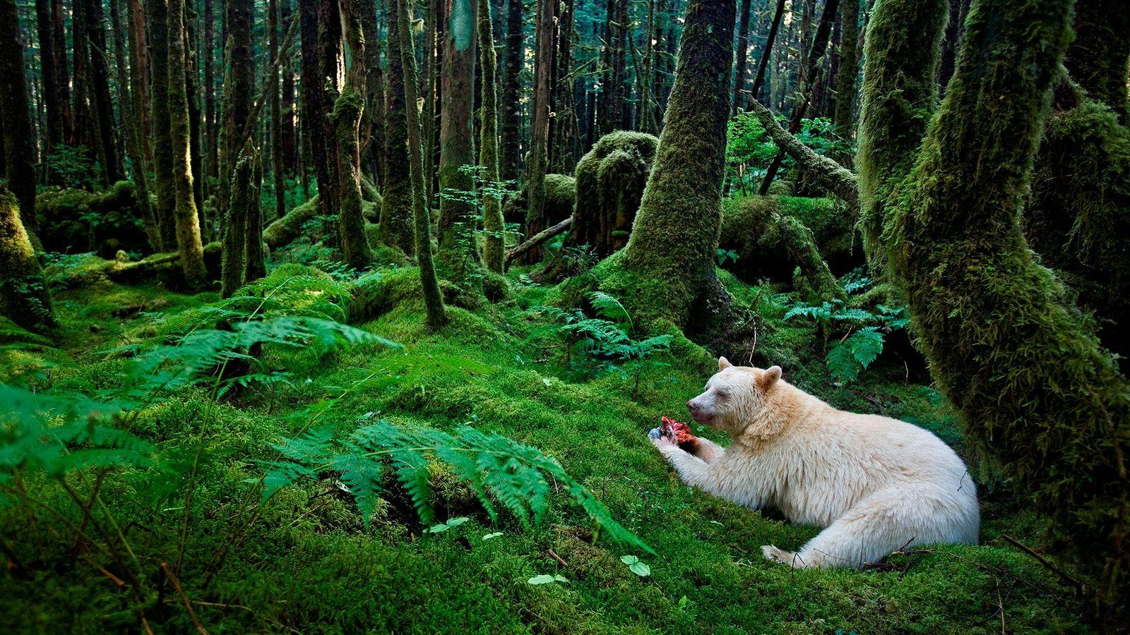Ein Kermodebär frisst auf dem bemoosten Boden des Regenwalds einen Fisch. Die Kitasoo/Xai'Xais Nation hat darum ...