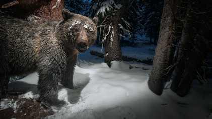 Galerie: Geplante Aufhebung von Schutzmaßnahmen für Grizzlys löst Kontroverse aus