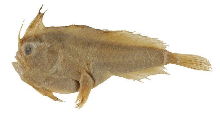 Handfisch, Sympterichthys unipennis
