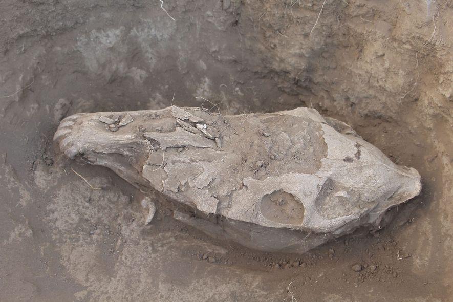 Wissenschaftler analysierten Belege für Abnutzungsspuren und menschliche Eingriffe an den Schädeln rituell geopferter Pferde in der ...