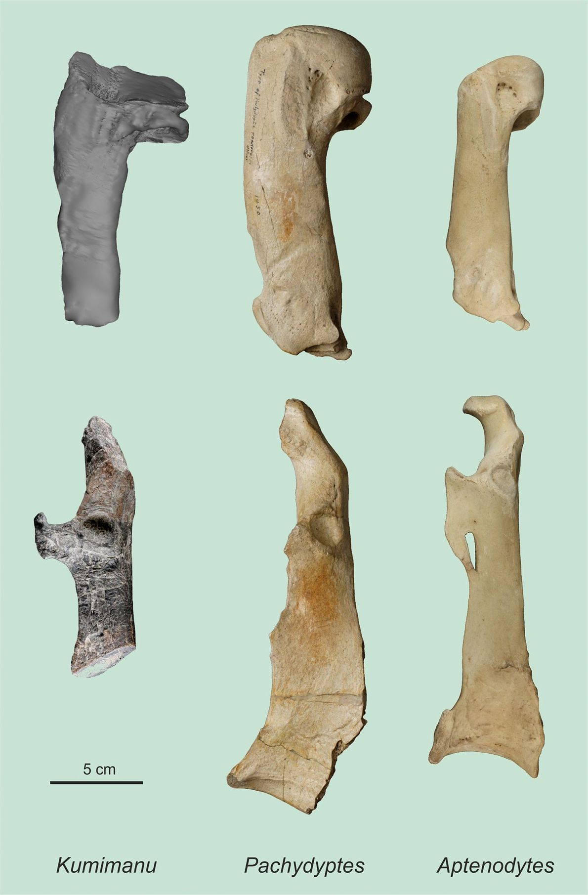 Der Oberarmknochen (oben) und der Knochen aus dem Schultergürtel (unten) des großen Pinguins Kumimanu biceae aus ...