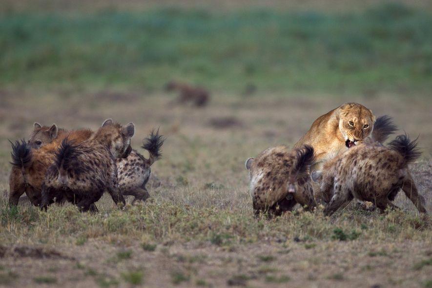 Tüpfelhyänen kämpfen in der kenianischen Masai Mara mit einer Löwin.