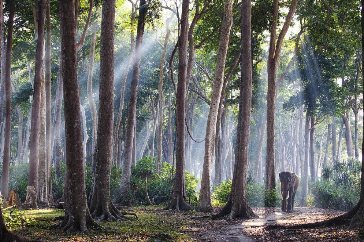Asiatischer Elefant im Regenwald