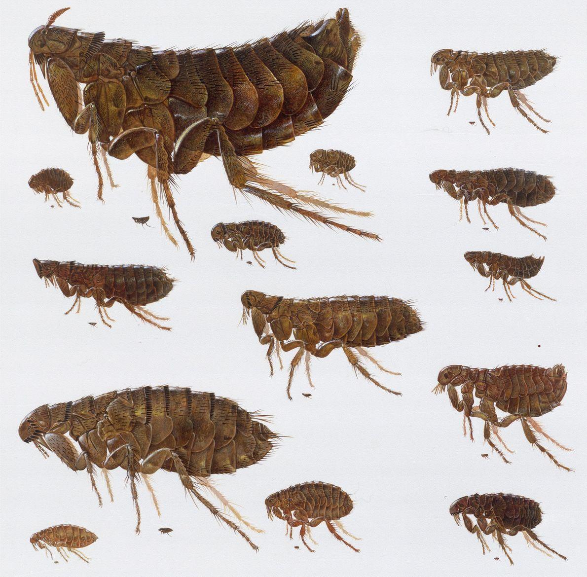 Diese Illustrationen zeigen Flöhe, wie sie durch ein Mikroskop sichtbar wären.