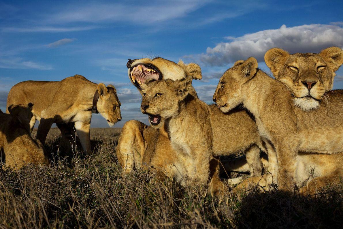 Löwin und ihre Jungen