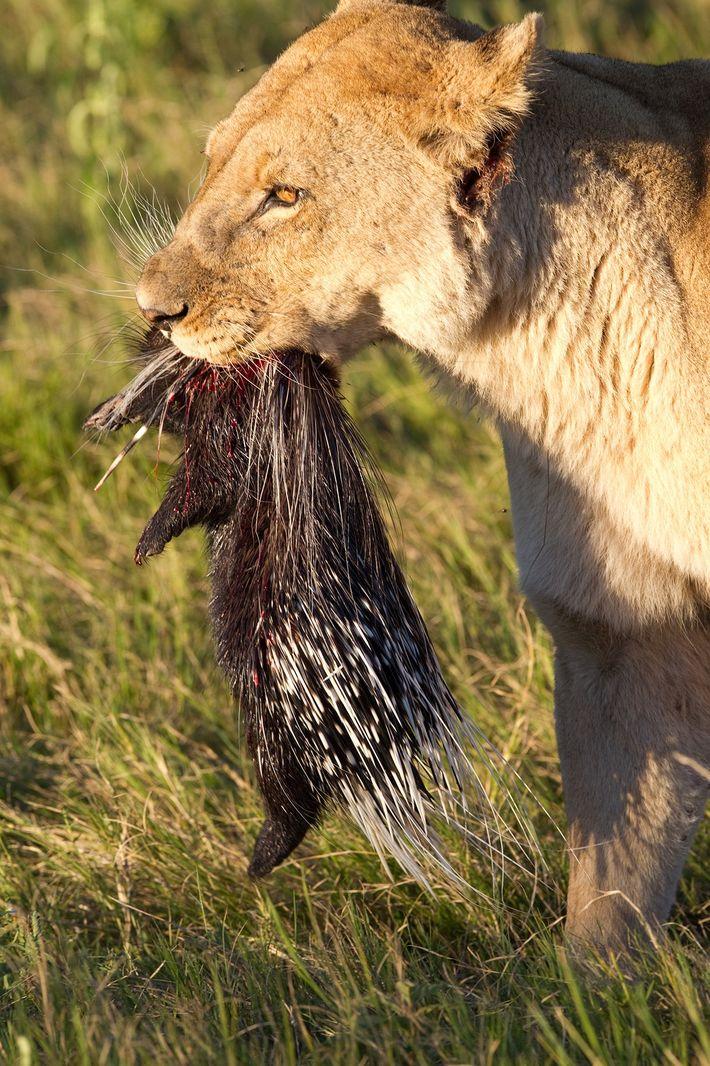 Löwen können bei der Jagd auf Stachelschweine auch erfolgreich sein, wie dieses Foto beweist, das im ...