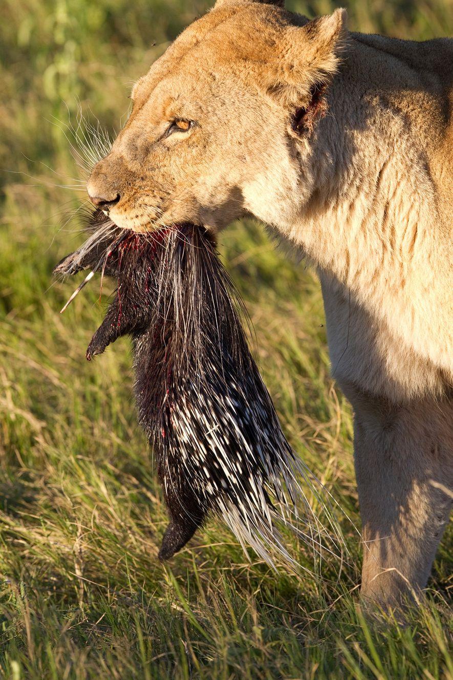 Löwen können bei der Jagd auf Stachelschweine auch erfolgreich sein, wie dieses Foto beweist, das im Okavangodelta in Botswana aufgenommen wurde.