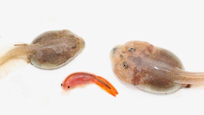 Die Kaulquappen der Amerikanischen Schaufelfußkröte entwickeln sich im Normalfall zu ihrer Allesfresserform (links). Wenn sie schon ...