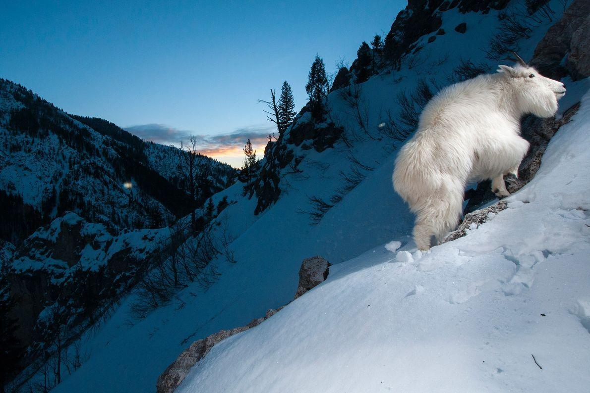 Schneeziegen sind in den Bergregionen im Nordwesten Amerikas heimisch. Sie müssen vor allem drei große Fressfeinde ...