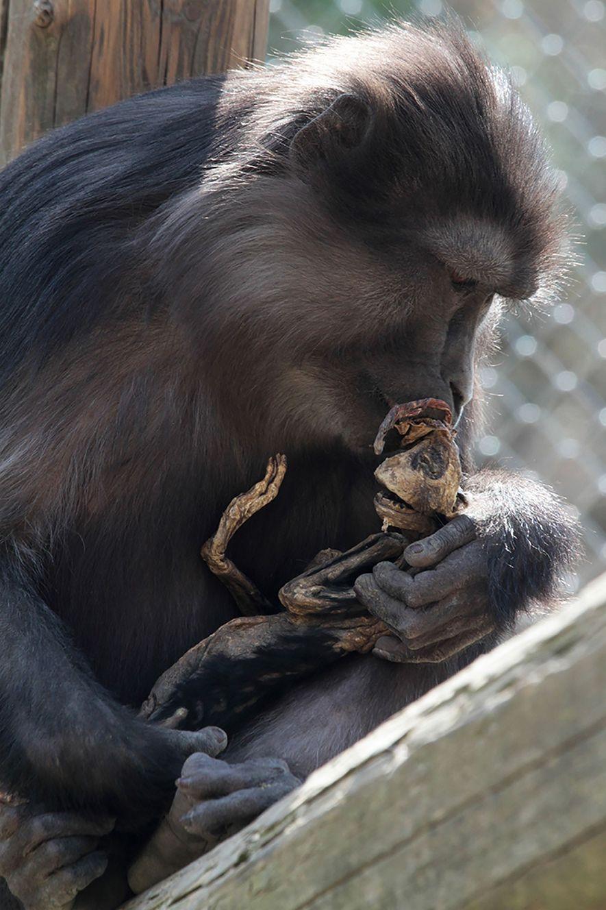 Die Mutter, die zum ersten Mal Nachwuchs hatte, scheint ihr skelettiertes Baby trösten zu wollen, das vier Tage nach der Geburt verstarb.