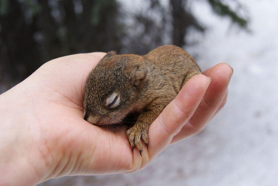 Im Rahmen ihrer Forschung holten Wissenschaftler dieses junge Rothörnchen kurzzeitig aus seinem Nest. Die Jungtiere werden ...