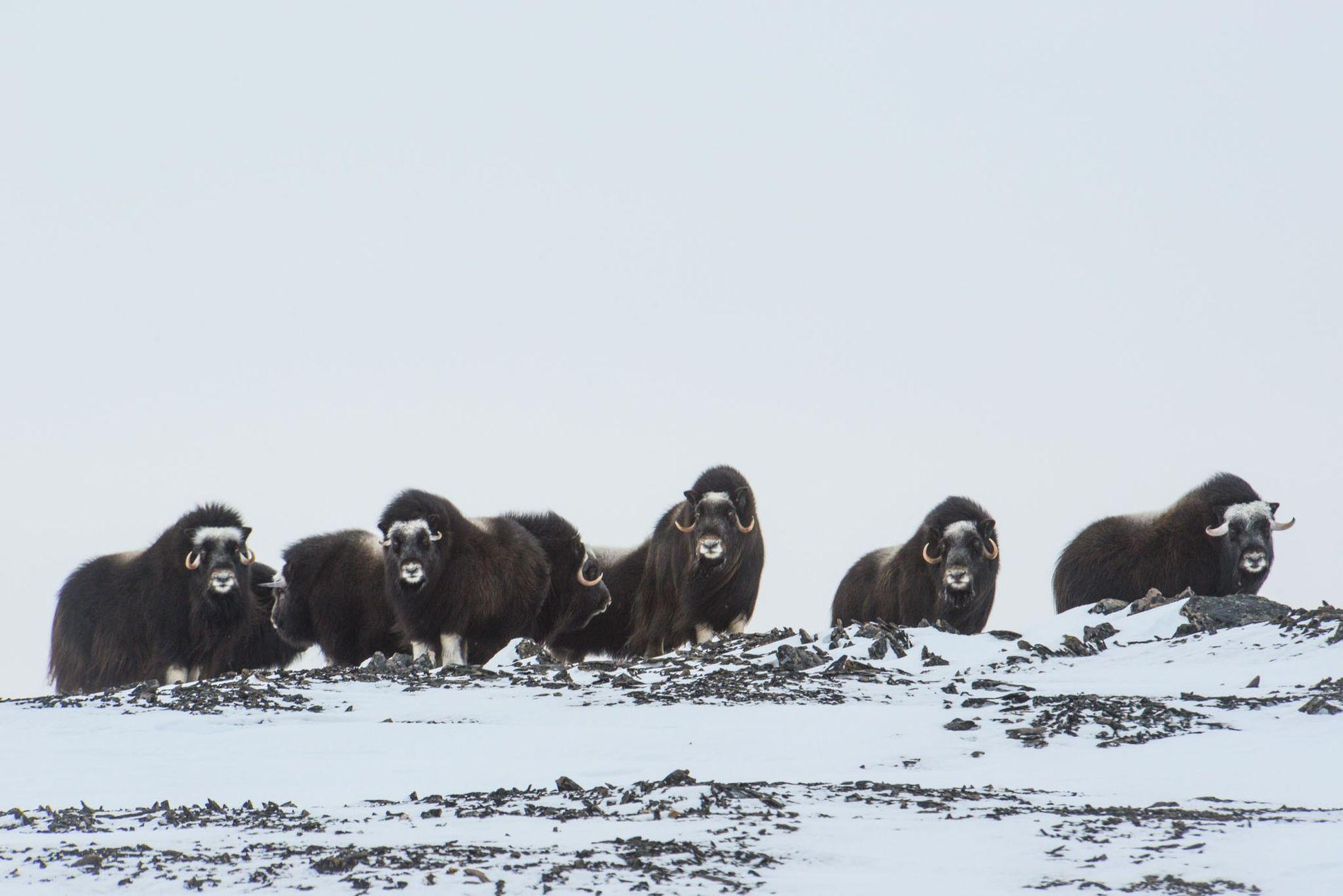 Moschusochsen suchen nach Nahrung, indem sie mit ihren Hufen den Schnee wegscharren.