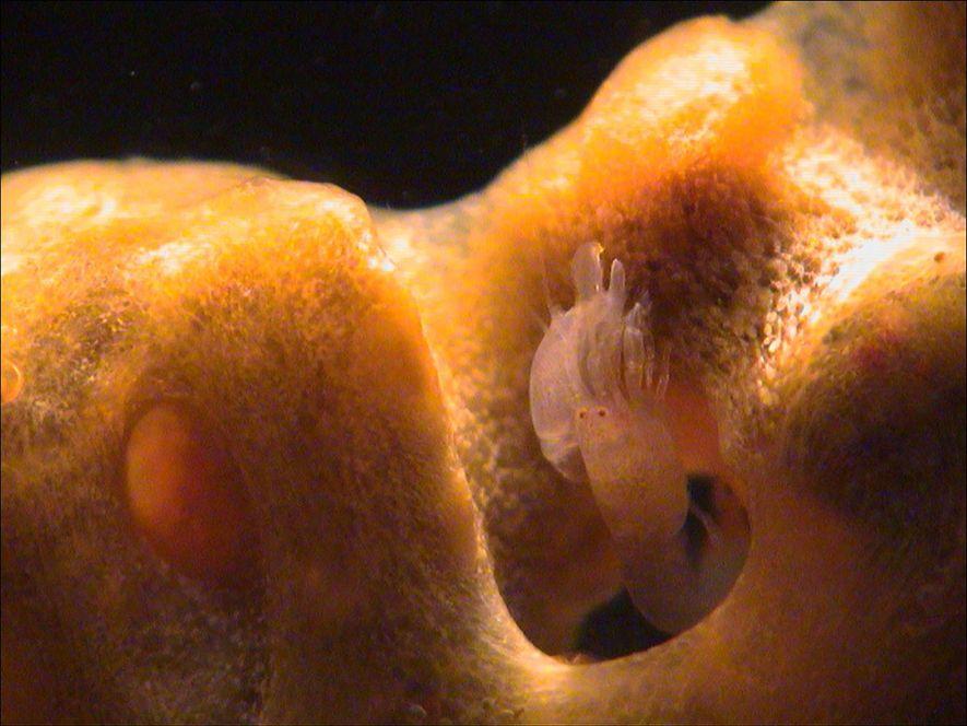 Ein Knallkrebs guckt aus einem Schwamm. Auf einem einzigen Schwamm finden sich mitunter mehrere Arten von Knallkrebsen.