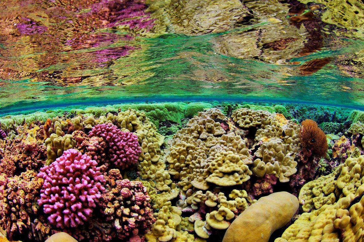 Steinkorallen bedecken den flachen Meeresboden des Kingman-Riffs vor den Northern Line Islands etwa 2.000 Kilometer südlich ...