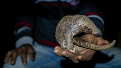 Jagd auf Indiens gefährdete Schuppentiere wird immer lukrativer