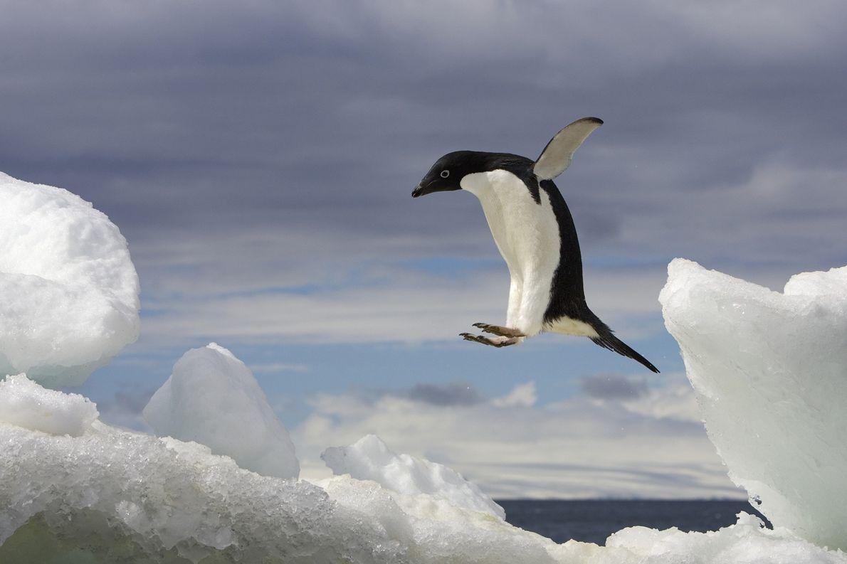 Ein Adeliepinguin hüpft in der Antarktis auf einen Eisberg.