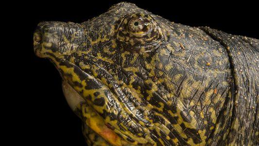 Galerie:  Von dieser Schildkrötenart existieren weltweit nur noch drei bekannte Exemplare