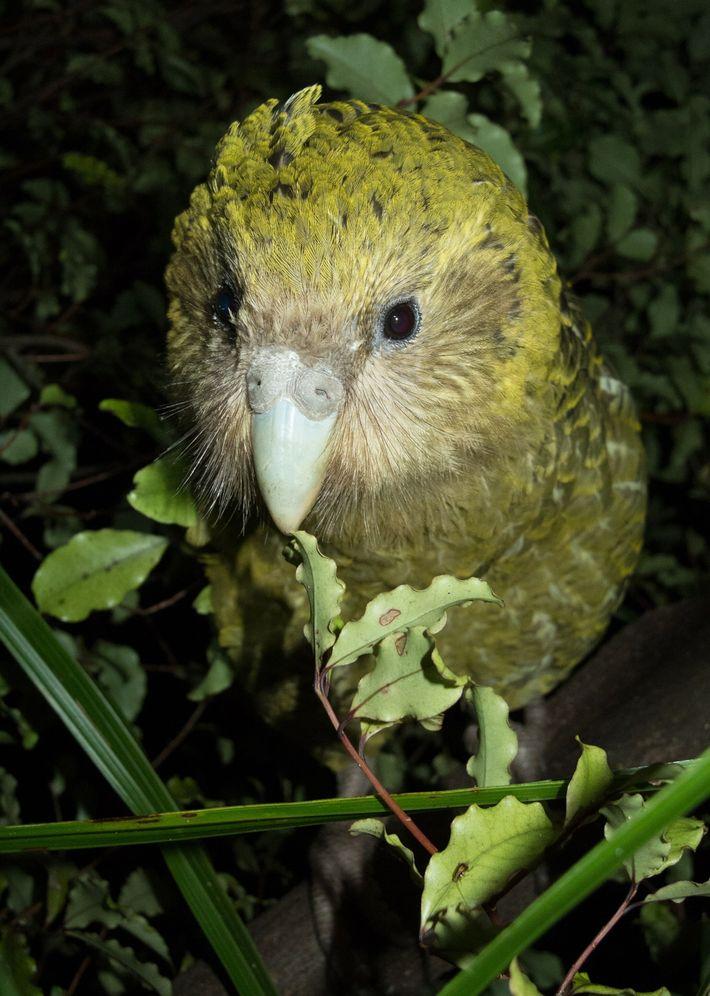 Weiblicher Kakapo
