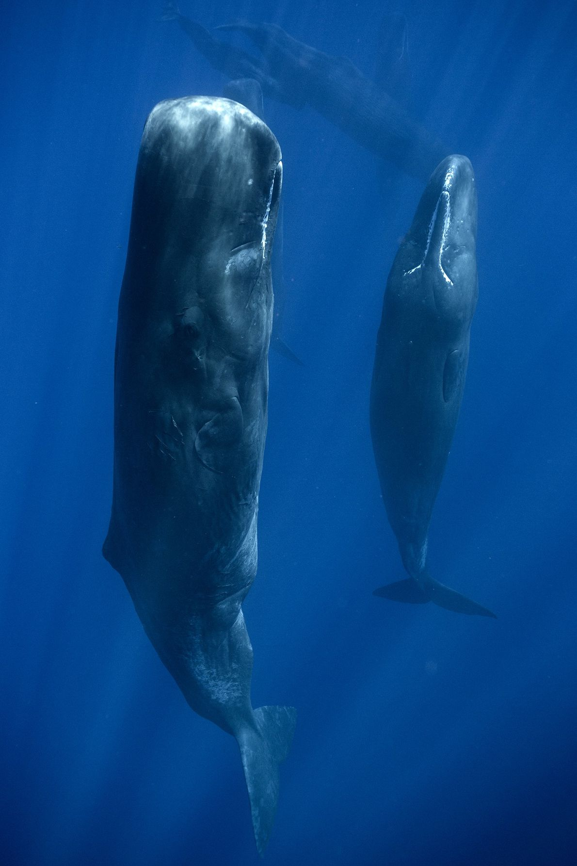 Senkrecht schlafende Wale