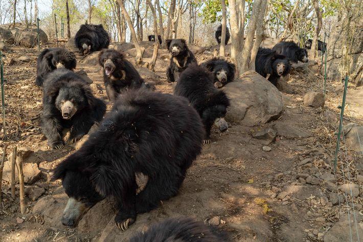 Die Bären, die im Bannerghatta Bear Rescue Center leben, wurden allesamt nach gewaltsamen Zusammenstößen mit Menschen ...