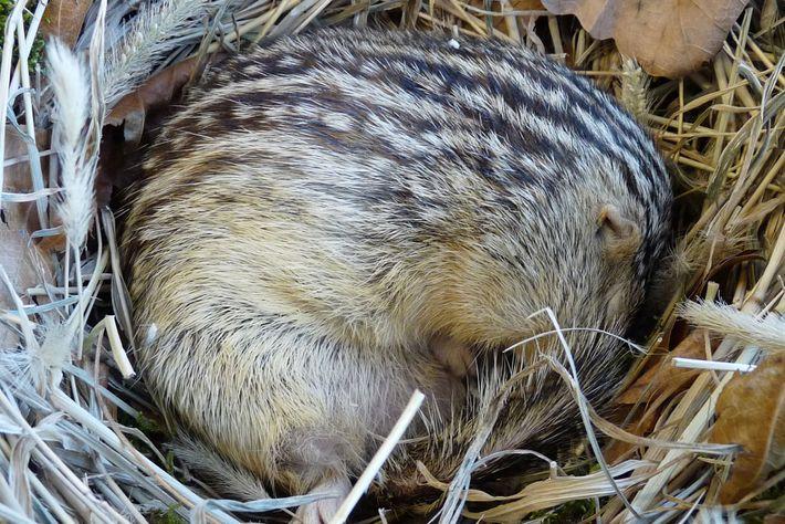 Ein eingerolltes Dreizehnstreifen-Hörnchen. Diese Spezies ruht und wirft seine Jungen ebenfalls in seiner Erdhöhle.