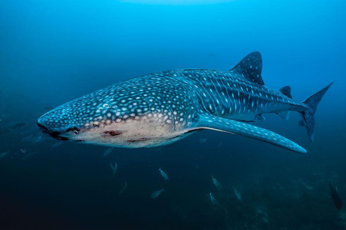 Ein riesiger Walhai zeichnet sich in den Tiefen Tubbatahas ab. In dem Riff leben elf verschiedene ...