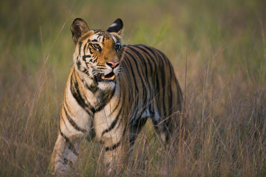Tiger können zwei Wochen lang ohne Nahrung überleben und sich den Bauch vollschlagen, wenn sie Beute ...