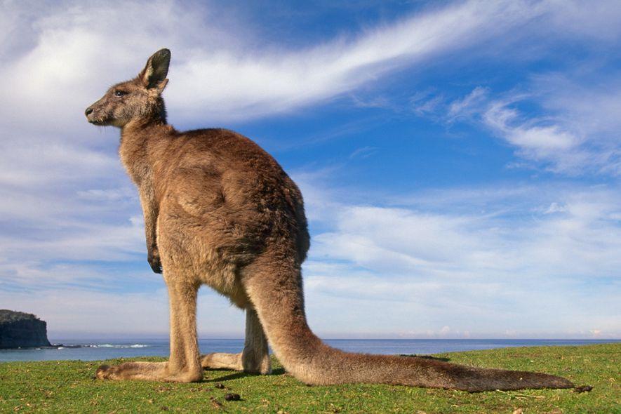 Keine Überraschung: Dieses Östliche Graue Riesenkänguru im australischen Murramarang-Nationalpark ist – genau wie seine Verwandten – ...