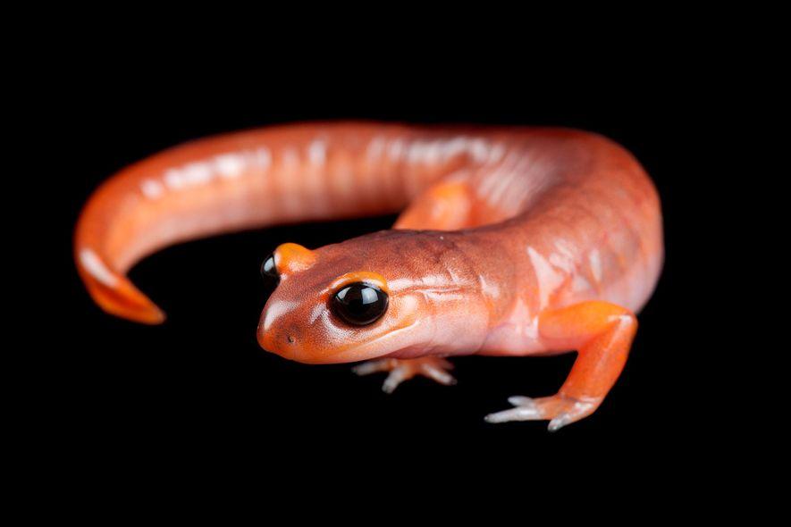 Der als Redwood Salamander bekannte Ensatina könnte Kalifornien beim Kampf gegen den Klimawandel unterstützen.