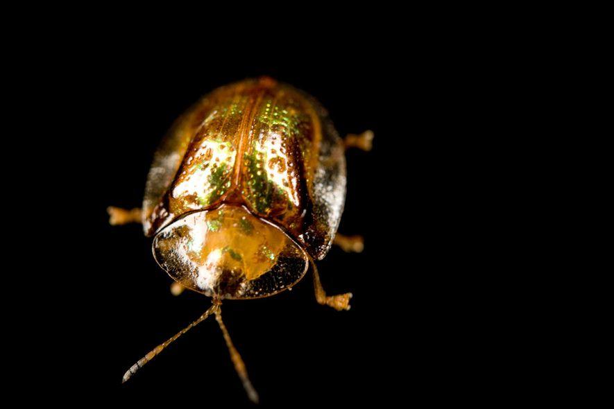 Die Käfermütter der Art Charidotella sexpunctata passen gut auf ihren Nachwuchs auf.