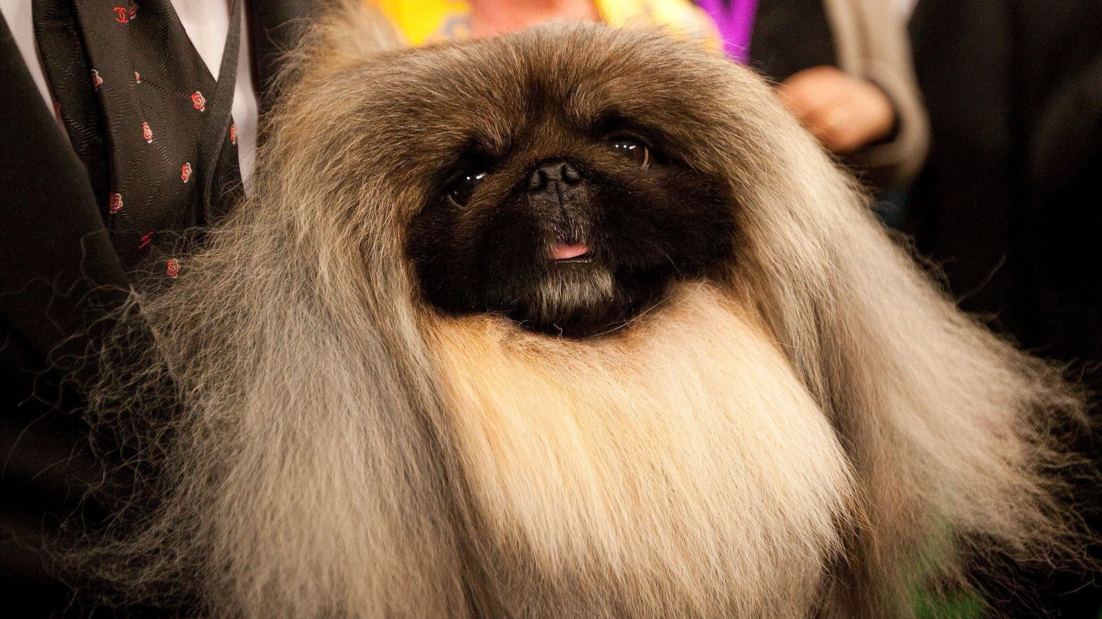 Gewinner der Dog Show des Westminister Kennel Clubs: Malachy
