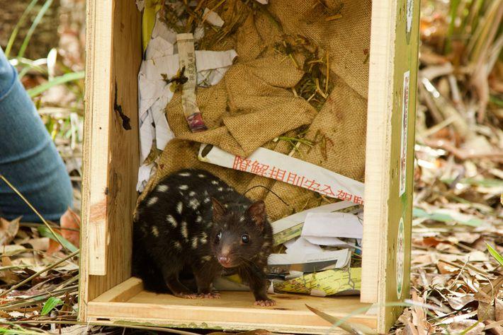 Drei der zwanzig wiederangesiedelten Tüpfelbeutelmarder haben Nachwuchs bekommen.