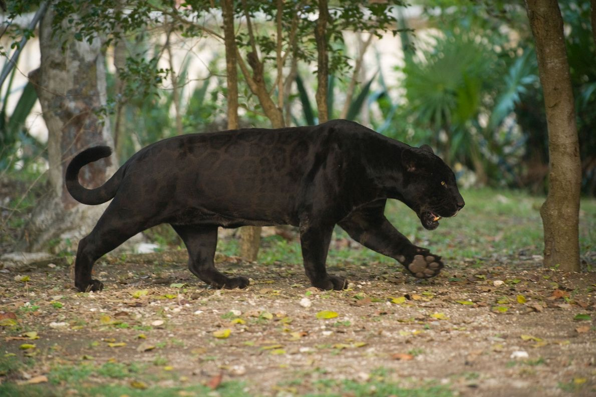 Ein in Gefangenschaft lebender, schwarzer Jaguar in seinem Außengehege.