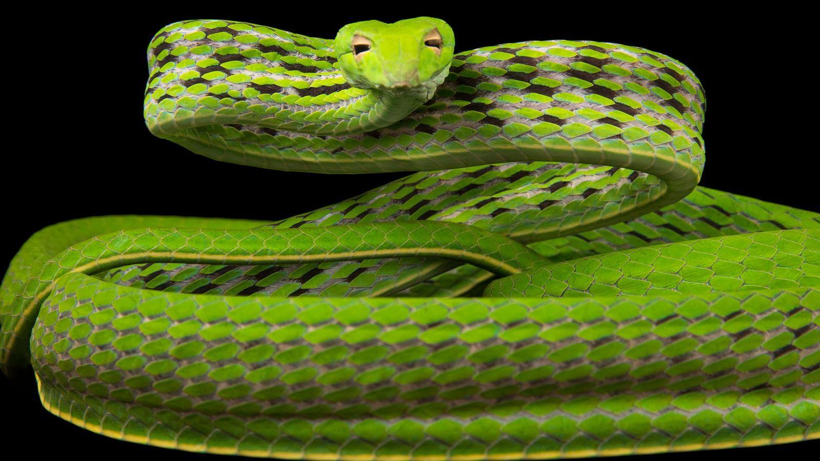 An Oriental whipsnake, Ahaetulla prasina, at Singapore Zoo.