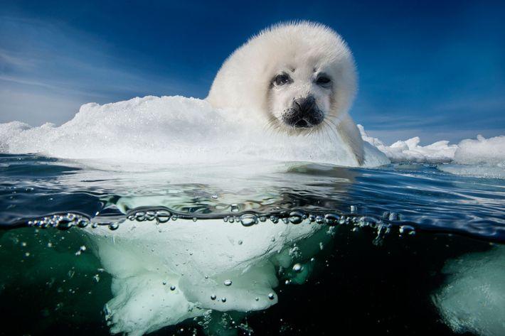 Ein Sattelrobben-Jungtier, auch Whitecoat genannt, wartet im Sankt-Lorenz-Golf in Kanada geduldig auf die Rückkehr seiner Mutter. ...