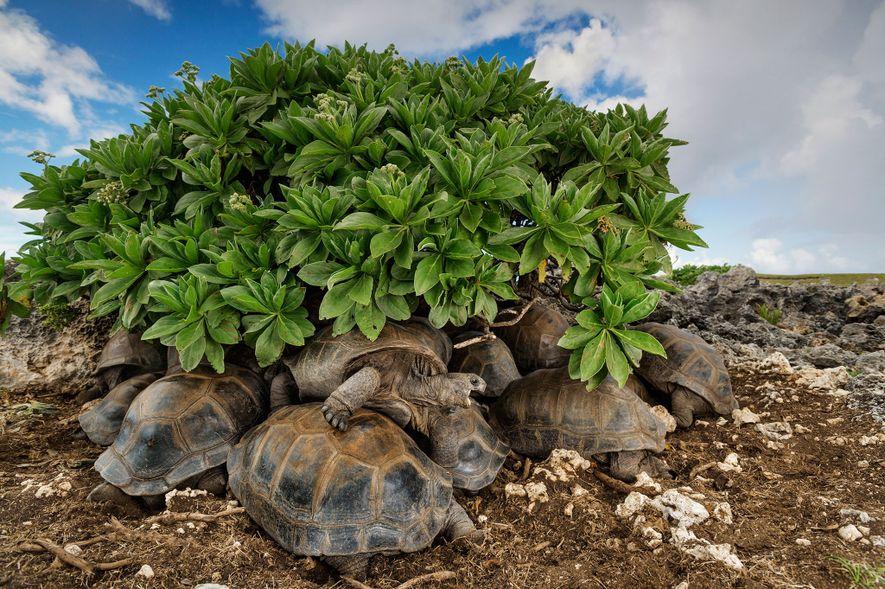 Riesenschildkröten suchen Schutz unter der Vegetation von Aldabra. Das Atoll gehört zu den Seychellen.