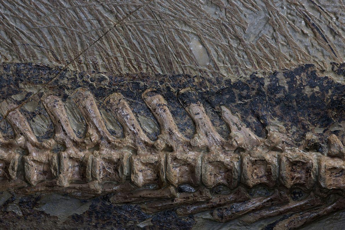 Eine Nahaufnahme zeigt die Wirbelsäule und die Schwanzborsten an einem ungewöhnlich gut erhaltenen Fossil des pflanzenfressenden ...