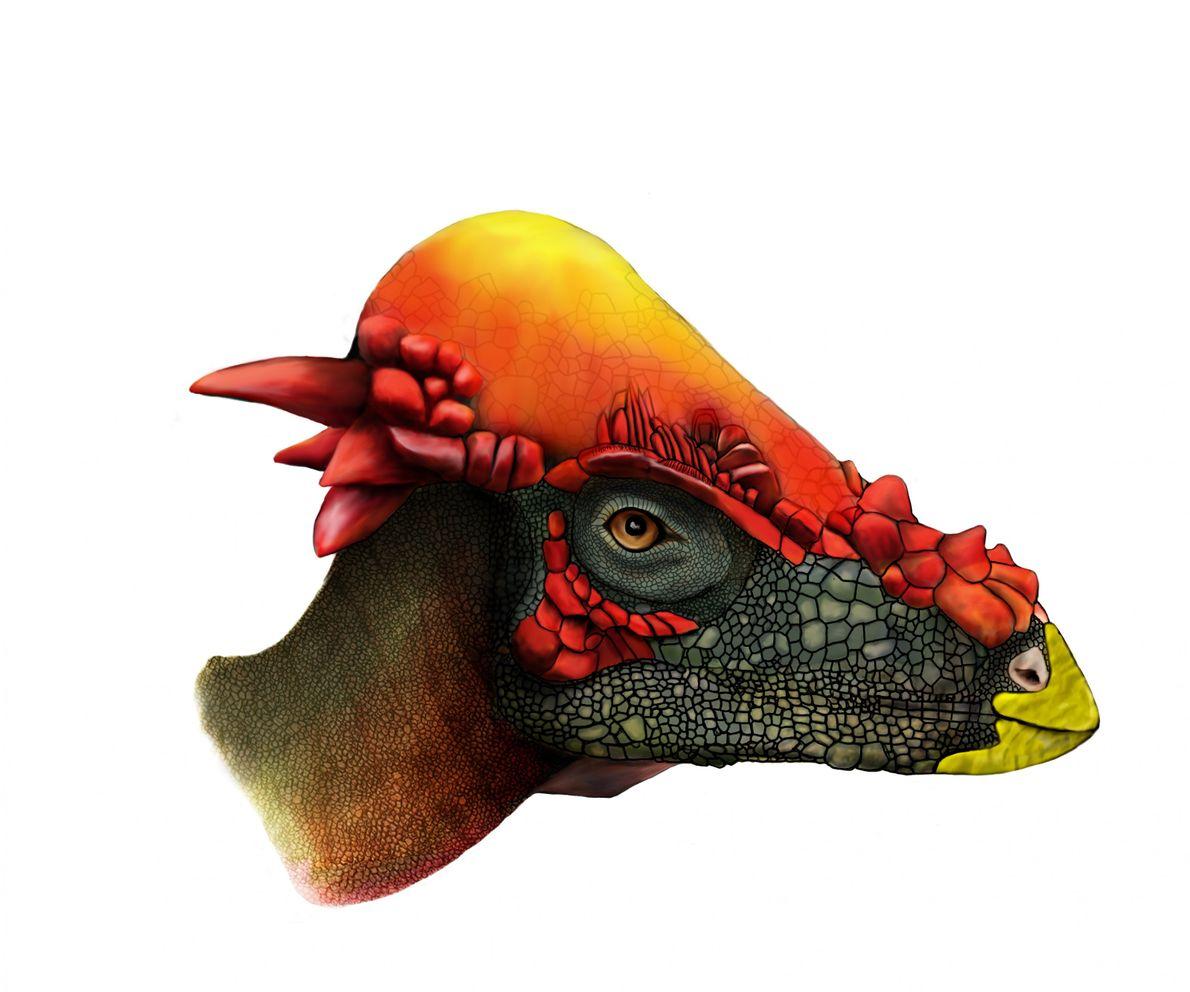 Wie man in dieser Illustration erkennt, sind das Stirnbein und Scheitelbein des ausgewachsenen jungen Pachycephalosaurus vergrößert ...