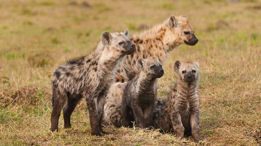 Kot von Eiszeit-Hyänen an alten Stätten menschlicher Aktivität entdeckt