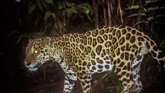 Wie kann man die Jaguare retten? Man macht die Einheimischen vom Feind zum Freund