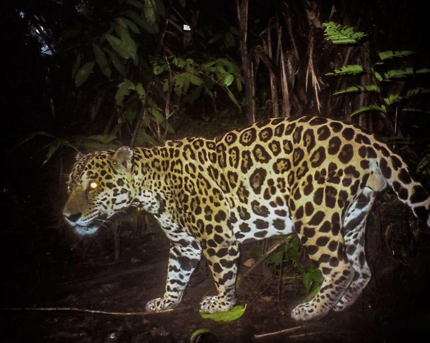 Jaguare wurden in Panama aus Rache dafür getötet, dass sie Vieh gerissen haben.