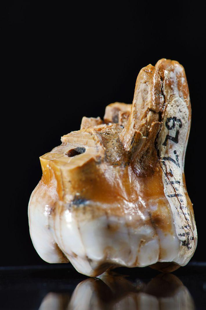 Alles, was wir über Denisovaner wissen, hat die Wissenschaft aus drei Zähnen und einem Fingerknochen herausgeholt.