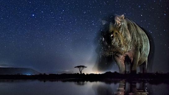 Ein Flusspferd in Südafrika am Wasserloch