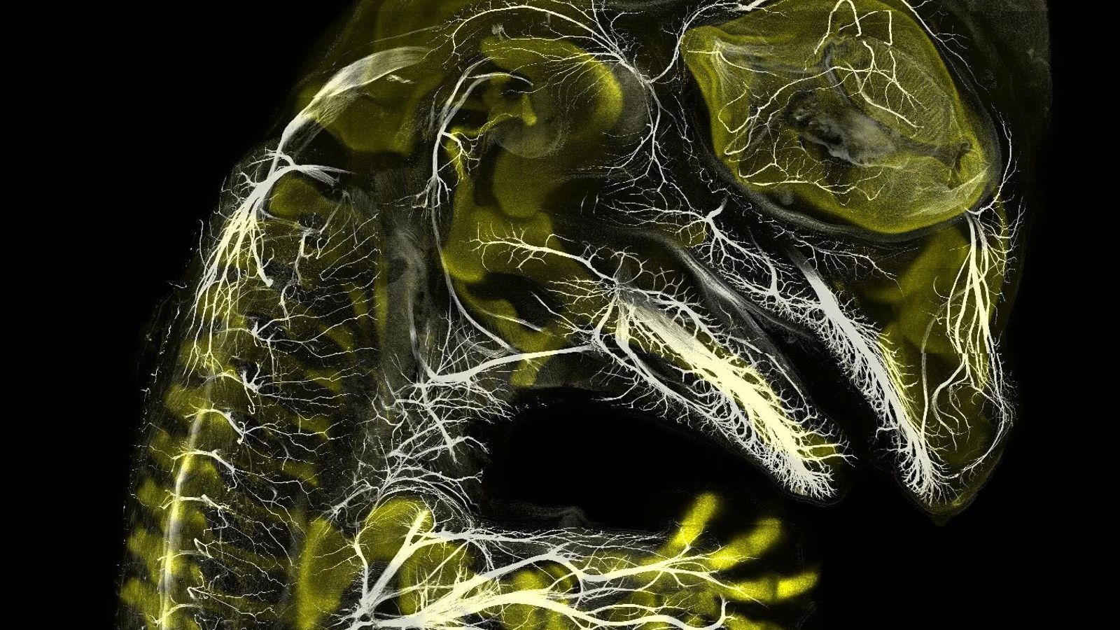 Noch nicht ganz Jurassic Park: Diese Immunfluoreszenz-Aufnahme, die der Yale-Absolvent Daniel Smith Paredes zusammen mit dem ...