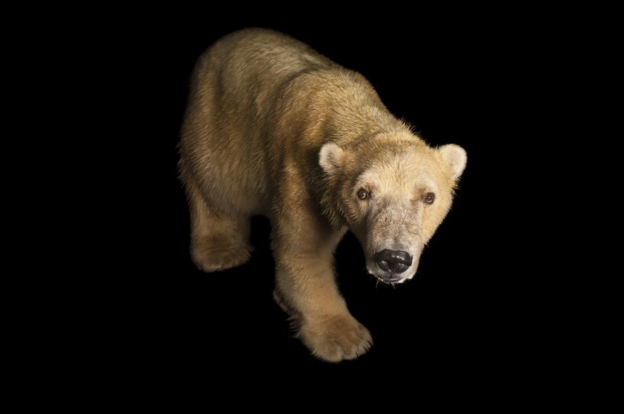 Eisbären haben schwarze Haut, mit der sie in der eisigen Arktis mehr Sonnenlicht absorbieren können.