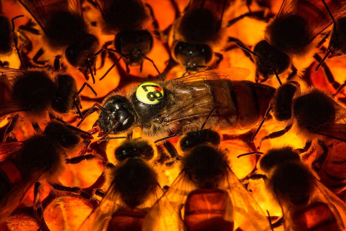 In jeder Bienenkolonie lebt eine Königin, die sich mit verschiedenen Drohnen paart und jeden Tag bis ...